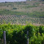 Taste Bulgarian Wines